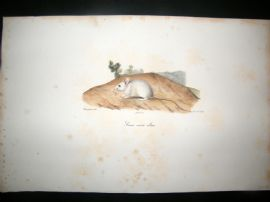 Saint Hilaire & Cuvier C1830 Folio Hand Colored Print. Albino Mouse